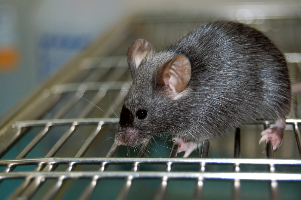 mouse model of IPF