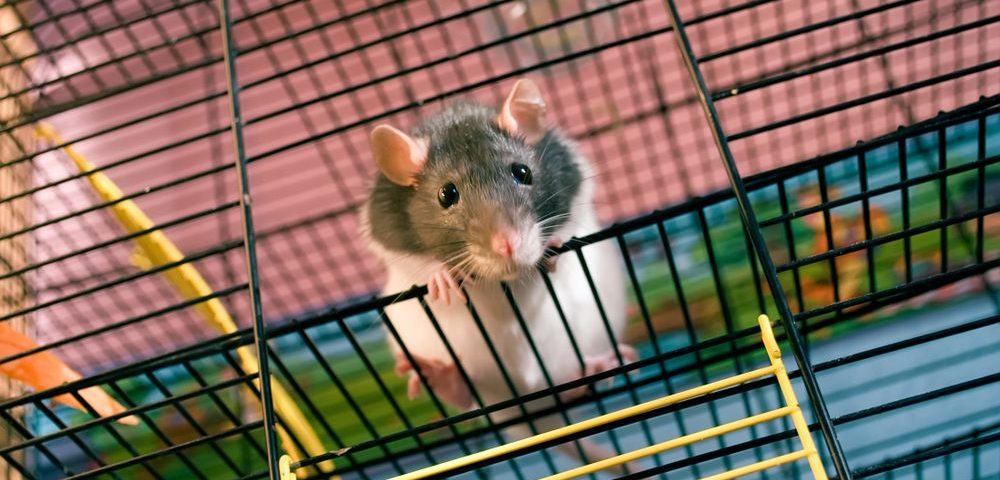 Experimental Peptide Combined With Ofev Reduced IPF Symptoms in Mice