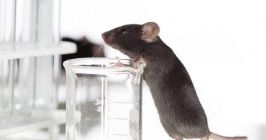 microgel in mouse study